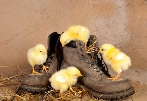 Обои солома, любопытство, Цыплята, ботинки, птенцы