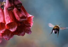 шмель, роса, насекомое, цветок, капли, полет