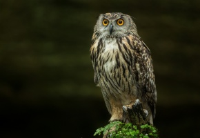 Обои сова, Птица, глаза, когти, хищник