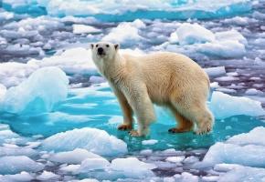 Обои лёд, снег, белый медведь, полярный медведь, северный медведь