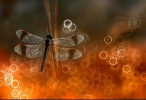 Обои стрекоза, боке, свет, крылья