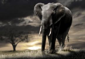 Обои слон, закат, природа, хобот, уши, клыки