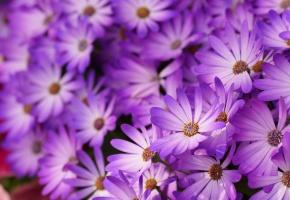 Маргаритки, сиреневые, макро, цветы, лепестки
