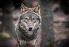 Обои волк, серый, уши, зубы, мех