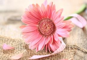 Обои гербера, розовая, цветок, ленточка, лепестки