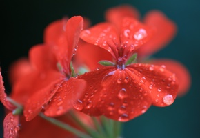 Обои букет, цветы, красные, капли, лепестки, макро