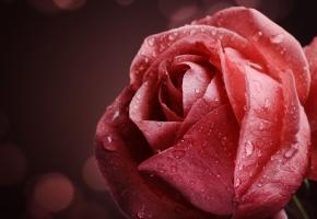 Обои роза, розовая, капли, вода, роса, макро, flower