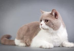 Обои кошка, взгляд, фон, усы, уши, лапки