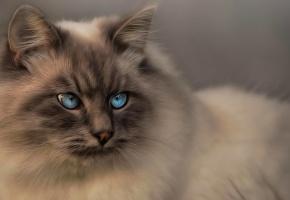 Обои кот, пушистый, голубые глаза, взгляд, уши, морда