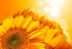 Обои подсолнухи, фон, оранжевый, семечки, солнышко