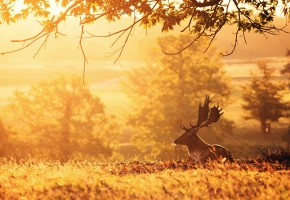 Обои олень, утро, солнышко, травка, природа