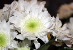 Обои цветок, белый, лепестки, букет, бутон