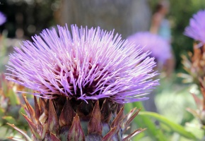 цветок, фиолетовый, колючка, иголки, бутон