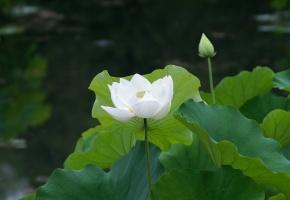 Обои листья, кувшинка, белая, Пруд, водяная лилия, лотос