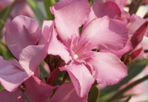 Обои лепестки, клумба, лето, розовый