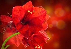 Обои цветок, красный, лилия, пестики, лепестки