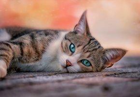 Обои домашние животные, кошки, кот, поза, голубые глаза, взгляд
