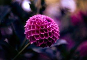 Обои Георгина, малиновый, цветок, лепестки. макро, размытость