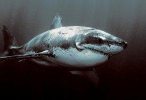 акула, старая, шрамы, порезы, океан