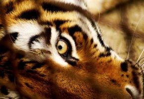 Обои тигр, глаз, взгляд, хищник, морда