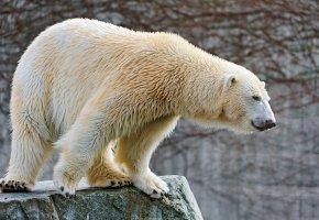 Обои медведь, Белый, мокрый, камень, шерсть
