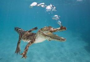Обои крокодил, река, пузыри, воздух, рептилия, пасть, клыки, глаза