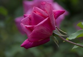 Обои роза, цветок, лепестки, бутон, алая, шипы, листья, ветка