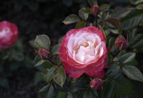 Обои роза, лепестки, листья, шипы, куст, бутон, цветок, красный
