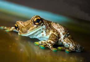 Обои reptile, frog, лягушка, жаба, eyes, глаза, лапы