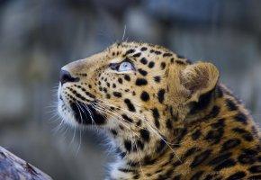Обои взгляд вверх, leopard, морда, усы, Леопард, пятна