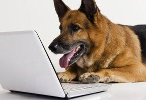 Обои собака, овчарка, ноутбук, фон, белый