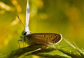 Обои бабочка, капли, колоски, усики, глаза, хобот