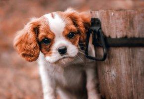 Обои щенок, взгляд, морда, уши, глаза