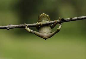 Обои лягушка, висит, лапки, ветка, макро, фон, зеленый