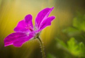 Обои цветок, розовый, лепестки, макро, стебель