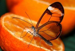 Обои апельсин, оранжевый, бабочка, крылья, прозрачность