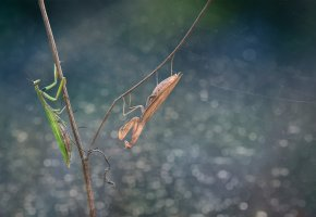 Обои mantises, green mantis, brown mantis, antennae, paws, eyes, branch, stalk