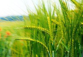 Обои колоски, поле, зерна, пшеница, зеленая