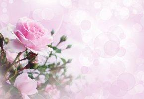 Обои Цветы, Роза, фон