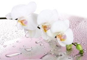 Обои капли, веточка, цветок, белая, воды, орхидея, лепестки