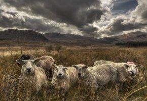 Обои овцы, поле, небо, природа
