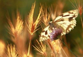 Обои бабочка, крылья, колоски, лето, цветок