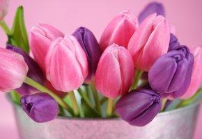 Обои розовый, бутоны, фиолетовый, Тюльпаны, букет
