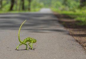 Обои хамелеон, хвост, дорога, лапки