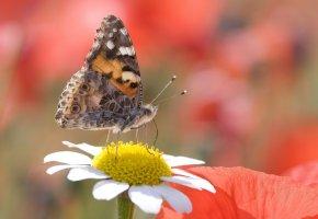 Обои бабочка, цветок, ромашка, розовые, крылья, усики