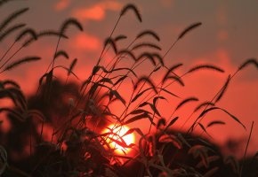 Обои поле, трава, колоски, солнце, восход