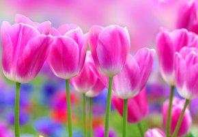 Обои тюльпаны, розовый, фон, весна