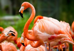 Обои птицы, фламинго, розовый, клюв, перья