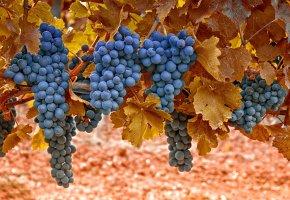 Обои ягоды, Виноград, синий, грозди, листья