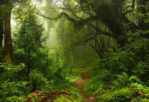 Обои Jungle, лес, деревья, тропинка, листья, зелень